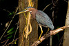 Green Heron (Photo by participant Gregg Recer)