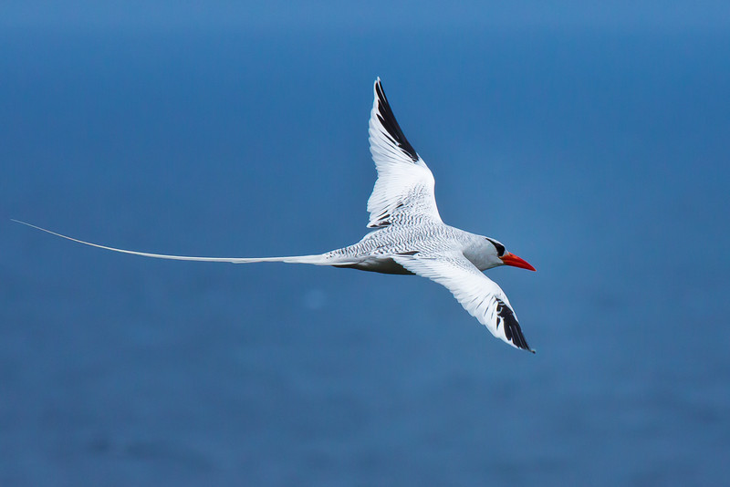 And a close fly-by of a Red-billed Tropicbird off Little Tobago (Photo by participant Gregg Recer)