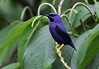 Purple Honeycreeper male (Photo by guide Eric Hynes)