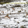 HERD OF PRONGHORN WINTERTIME