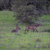 two waterbucks