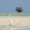Egret and champignon, Aldabra