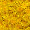 Surface with yellow dandelion flowers (four shots stitch)