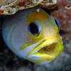 Yellow head Jaw Fish with Eggs
