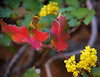 Oregon Grape, Valley Floor