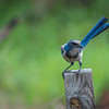 Scrub Jay looking for a handout.