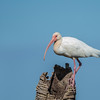 White Ibis - Viera Wetlands Melbourne Florida