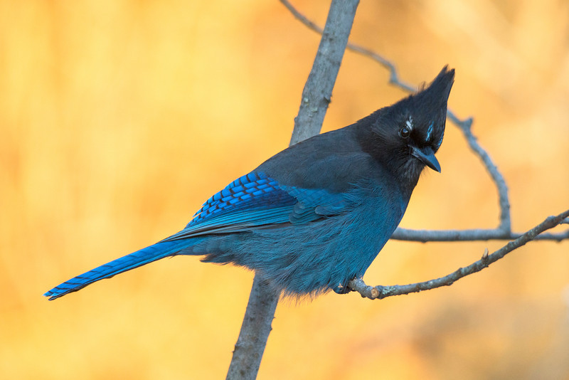 Stellar's Jay, Early Morning Light
