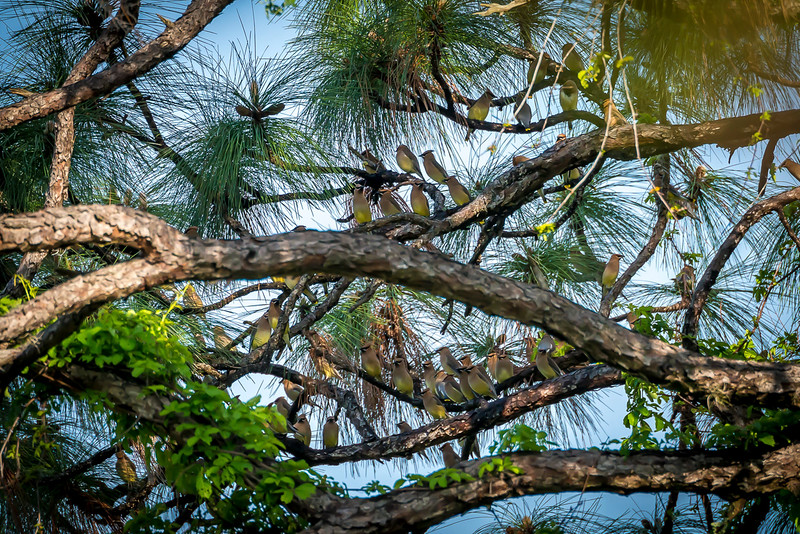 Cedar Waxwings Getting Ready to Raid a Loquat Tree - Taken from my back porch.