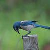 Scrub Jay - We hunted these guys on a trail for a long time only to find them waiting for us at the parking lot.