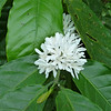 East Java - Coffee plant flower
