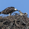 130503-Osprey Nests-001