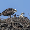 130503-Osprey Nests-006