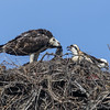 130503-Osprey Nests-003