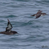 SOOTY  AND BLACK-VENTED SHEARWATERS