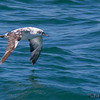 BLACK-VENTED SHEARWATER<br /> (LEUCISTIC)