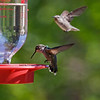 FEMALE COSTA'S AND ANNA'S HUMMINGBIRDS