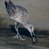 WILLET WITH BREAKFAST