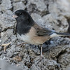 DARK-EYED JUNCO<br /> OREGON