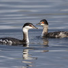 HORNED(L) AND EARED(R) GREBES