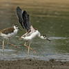 JUVENILE BLACK-NECKED STILTS