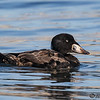 JUVENILE MALE SURF SCOTER