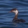 HORNED GREBE Glorietta Bay