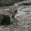 JUVENILE YELLOW-CROWNED NIGHT-HERON