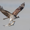 OSPREY CATCHING PREY