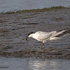 GULL-BILLED TERN