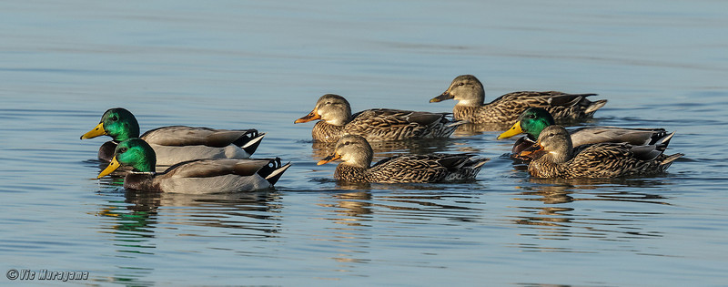 GROUP OF MALLARDS