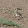 MALE RED-THROATED PIPIT