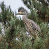 YELLOW-CROWNED NIGHT-HERON<br /> hatch year