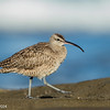 Pacific Whimbrel