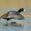Coot Water Walkin