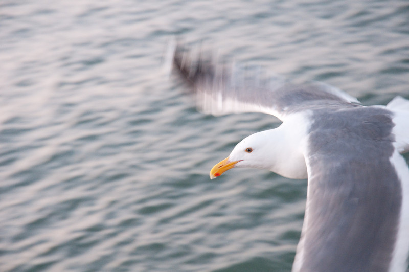 A seagull takes flight over the San Francisco Bay, San Francisco, California