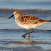 Walking sandpiper