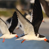 Black Skimmer - Sanibel Island, Florida