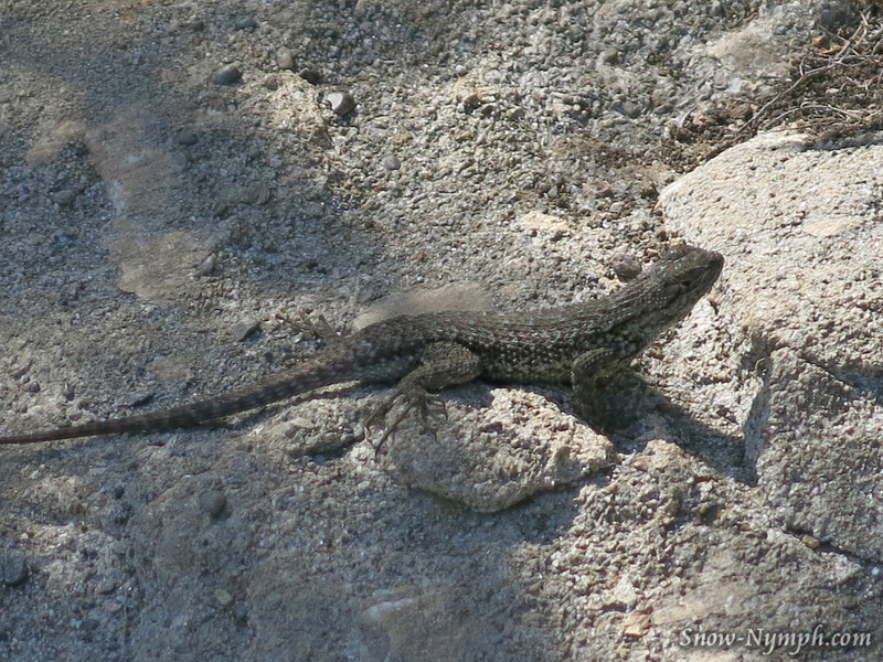 Lizard . . . Wind Caves, Gaviota Beach