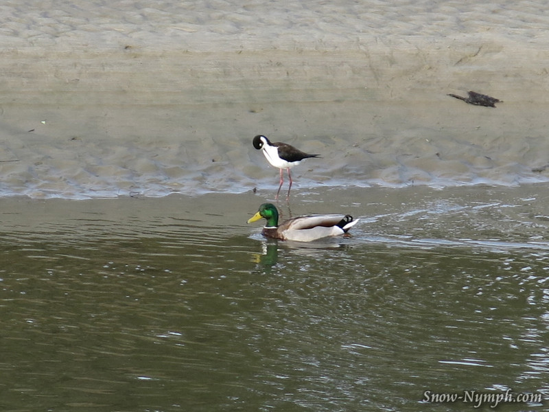 Black Neck Stilt and Mallard (G15)