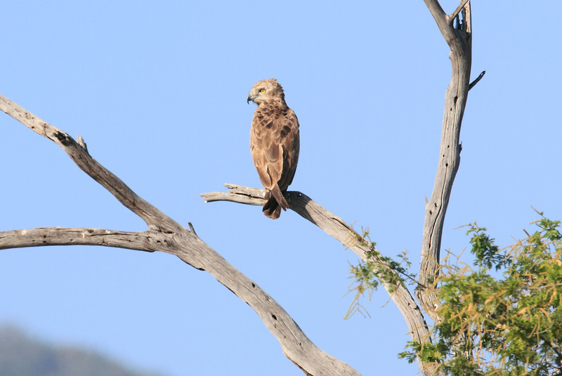 Sarara_Brown_Snake_Eagle_Kenya0001