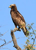 Sarara_Black_Kite_Kenya0009