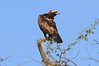 Sarara_Black_Kite_Kenya0005
