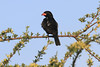 Red-Billed-BuffaloWeaver0003