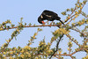 Red-Billed-BuffaloWeaver0004