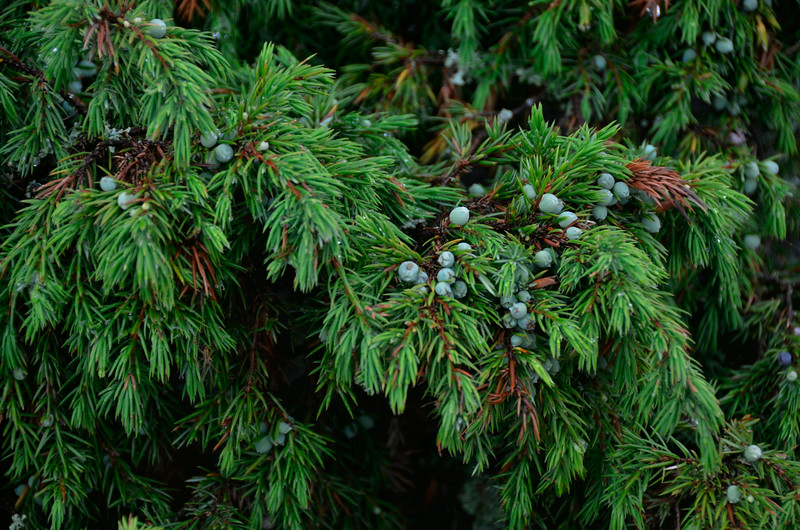 Closeup of prostrate juniper