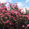 Crape myrtle in bloom in the courtyard of Sydney Lewis Hall.