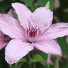 A pink Clematis Flower on a vine of green