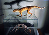 "Replicas of ""Adamantinasuchus navae"" and the skeleton, a terrestrial crocodylomorph are presented to journalists at Geology department of Rio de Janeiro's Federal University, Rio de Janeiro, Brazil, April. 17, 2007. The fossil was found recently in the construction site of a dam in Marilia, in the state of Sao Paulo. The new species, whose morphology is unique among terrestrail crocodylomorphs, measured 50 cms and weighed 10 Kg. It lived around 90 million years ago in the southeastern region of Brazil. (Austral Foto/Renzo Gostoli)"