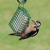 Immature Great Spotted Woodpecker (Dendrocopus major)